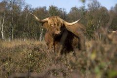 Scottish Highlander. On the heath, Netherlands Royalty Free Stock Images