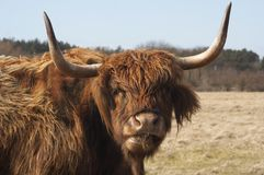 Scottish Highlander Stock Photography