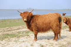 Scottish Highlander Stock Images