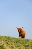 Scottish Highlander Stock Photo