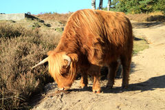 Scottish Highlander also called the Highland Cow Royalty Free Stock Photos
