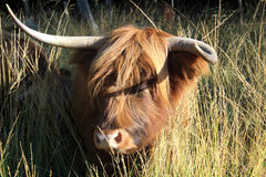 Scottish Highlander as large grazer Stock Image