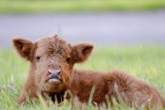 Scottish Highlander baby Stock Photo
