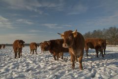 Scottish Highlander, Bos taurus in the Snow royalty free stock photography