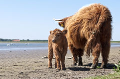 Scottish highlander with calf Royalty Free Stock Photos