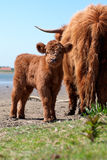Scottish highlander with calf Stock Photo