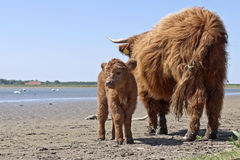 Scottish highlander with calf Royalty Free Stock Photo