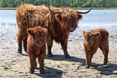 Scottish highlander calf Stock Photo
