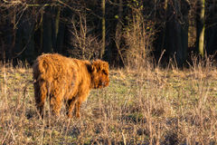Scottish highlander calf standing in meadow Royalty Free Stock Photo