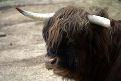 Scottish highlander cow Royalty Free Stock Photo