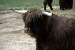 Scottish highlander cow 2 Royalty Free Stock Images