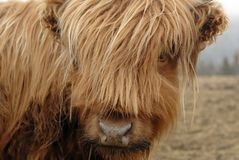 Scottish Highlander Cow. This image was taken in Nova Scotia, Canada and shows a Scottish Highlander Cow Royalty Free Stock Photo