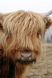 Scottish Highlander Cow. This image was taken in Nova Scotia, Canada and shows a Scottish Highlander Cow Royalty Free Stock Photography