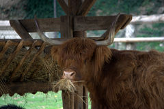 Scottish highlander cow eating at the trough Royalty Free Stock Photo