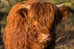 Scottish highlander cow with face looking at camera Royalty Free Stock Photography
