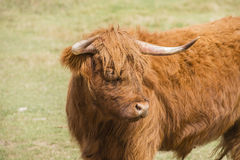 Scottish Highlander Cow in a Pasture Rural America Royalty Free Stock Image