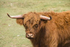 Scottish Highlander Cow in a Pasture Rural America Royalty Free Stock Photo