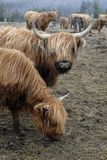 Scottish Highlander Cows. This image was taken in Nova Scotia, Canada and shows a group of Scottish Highlander Cows Stock Photo