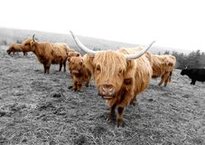 Scottish Highlander Cows. This image was taken in Nova Scotia, Canada and shows a group of Scottish Highlander Cows. This image is a black and white photograph Stock Image