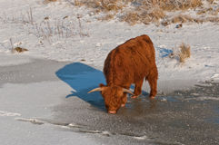 Scottish Highlander drinks from the ice. Stock Photo