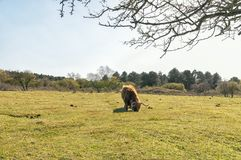 Scottish highlander grazing on a meadow stock images