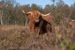 Scottish Highlander on the heath Royalty Free Stock Images