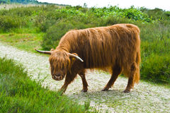 Scottish Highlander Stock Photos