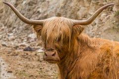 Scottish highlander Stock Images