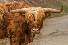 Scottish Highlander Royalty Free Stock Images
