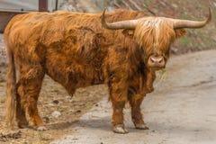 Scottish Highlander Stock Photos
