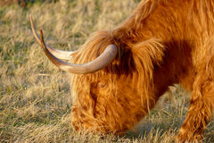 Scottish highlander. Royalty Free Stock Photography