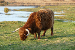 Scottish highlander. Stock Photography
