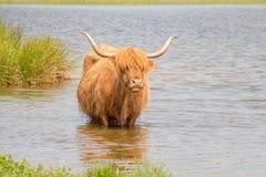 Scottish highlander. Royalty Free Stock Photography