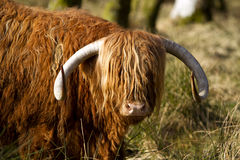 Scottish highlander ox Stock Photos
