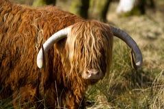 Scottish highlander ox Stock Photos