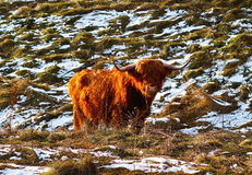 Scottish highland ox in winter Royalty Free Stock Images