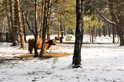 Scottish highlander ox Stock Photography