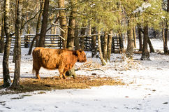 Scottish highlander ox Stock Image