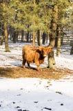 Scottish highlander ox Royalty Free Stock Photos