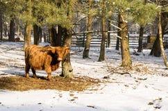 Scottish highlander ox Royalty Free Stock Images