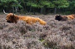 Scottish highlander ox Stock Image