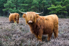Scottish highlander ox Royalty Free Stock Photography