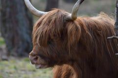 Scottish highlander profile picture. Stock Photo