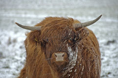 Scottish Highlander in the snow Stock Images