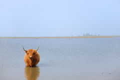 Scottish Highlander in water Royalty Free Stock Image