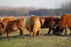 Scottish Highlanders Stock Images