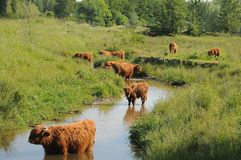 Scottish highlanders are looking for cooling in the water stock images