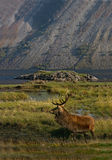 The Scottish Highlands. A Red Deer Stag in the Highlands of Scotland Royalty Free Stock Photos