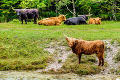 Scottish Highlands cows Royalty Free Stock Images