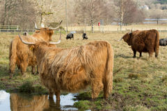 Scottish Highlands rural agricultural scene with Highland Cattle Stock Images